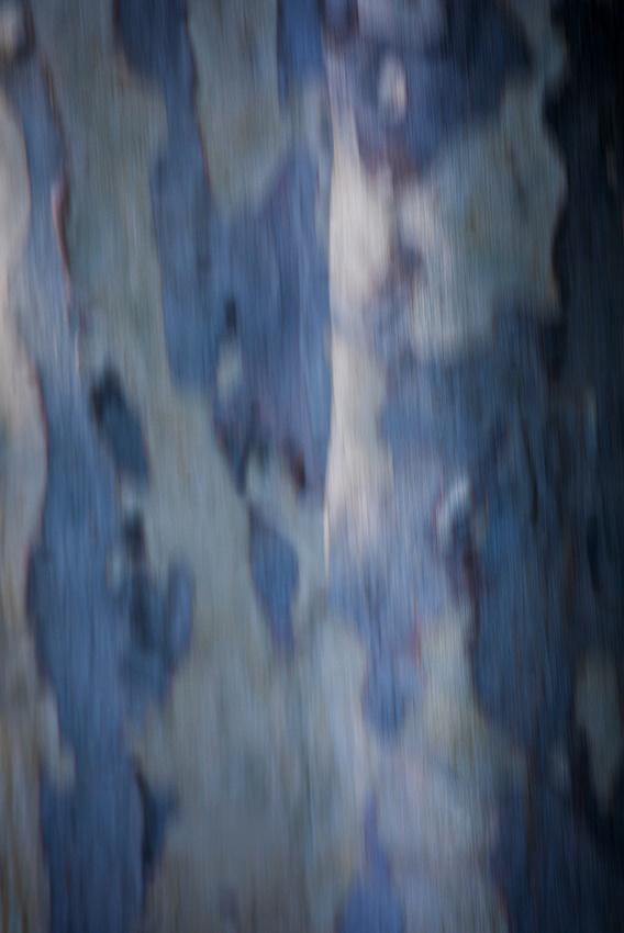 Blue gum trunk 3_